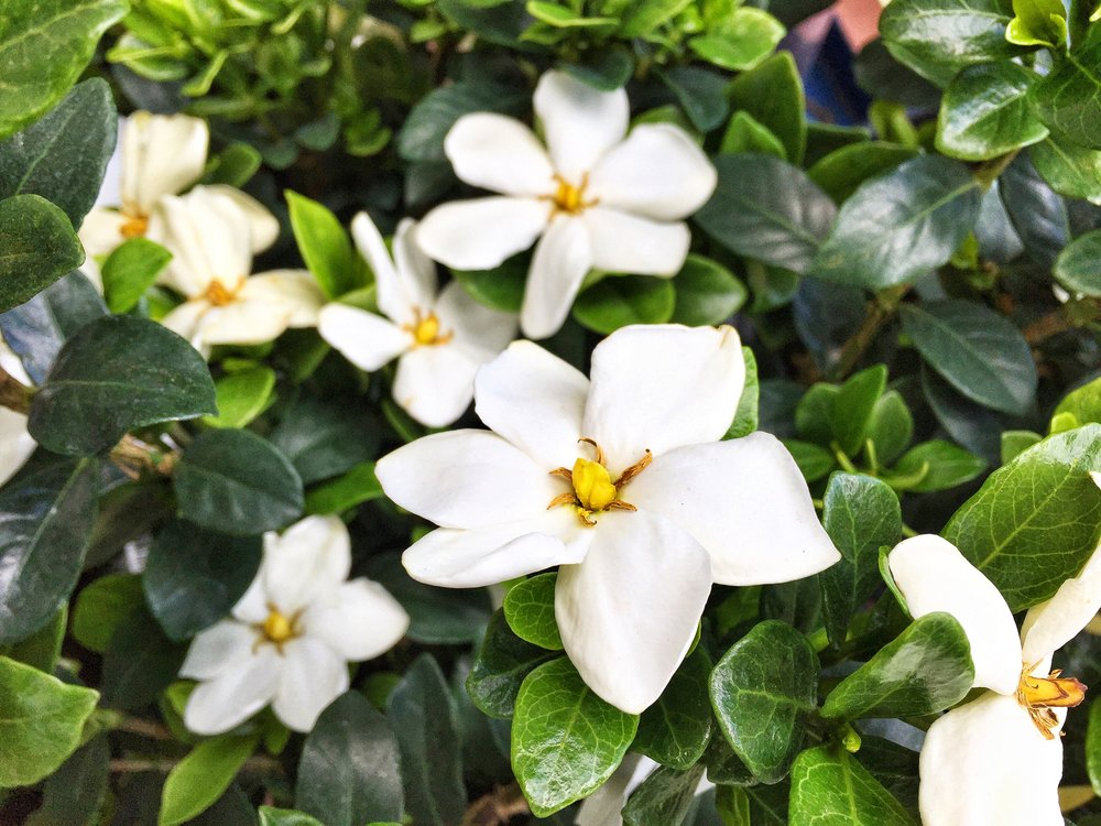 Fragrant Gardenias