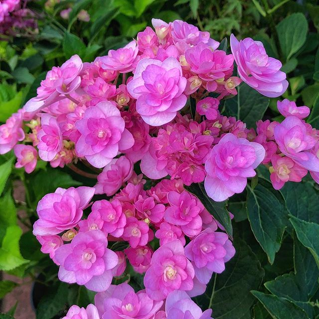 😍 This brand new beauty is called Hydrangea 'You Me Passion'.