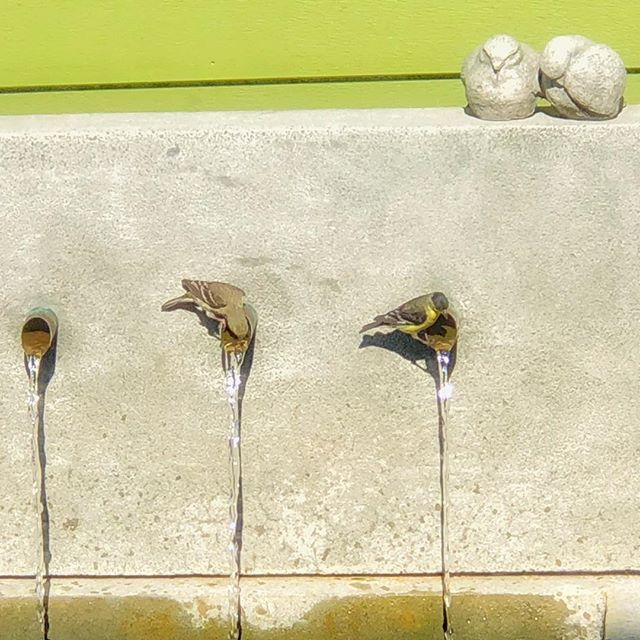 This pair of adorable little goldfinches loves to drink from this fountain! Nothing attracts birds to your garden like running water.
