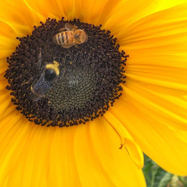 🐝 Just a couple bees enjoying a sunflower together. 🌻