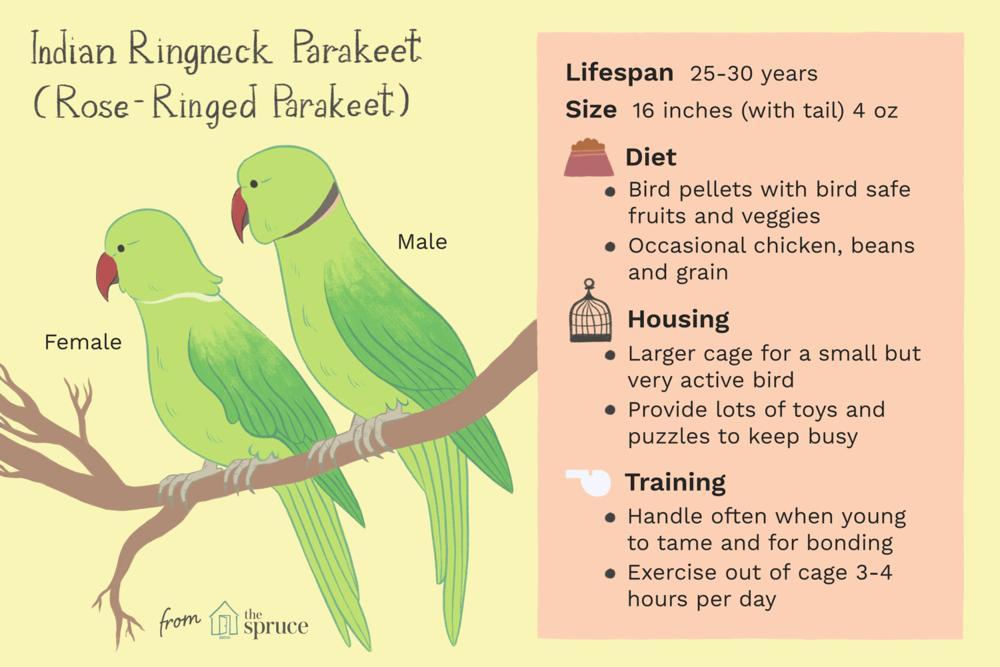 indian-ringneck-parakeets-390503_v4-TT.png