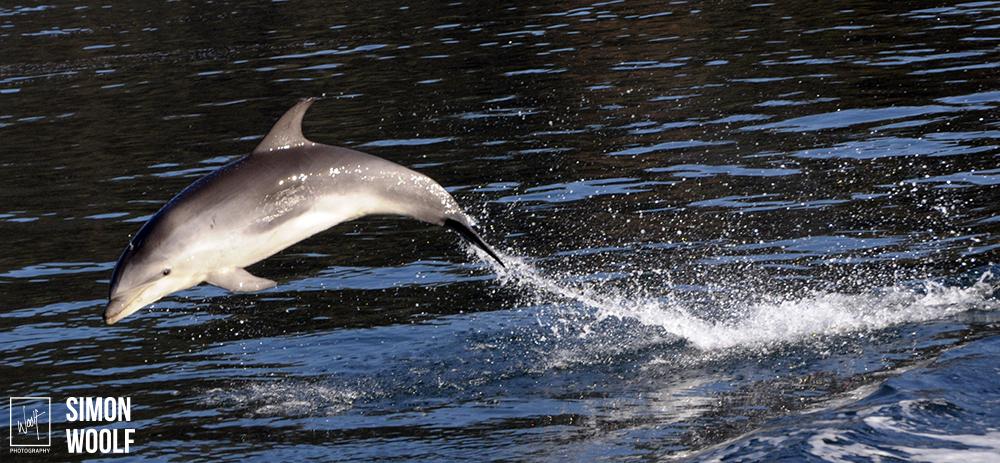 Bottlenosed Dolphin 1.jpg
