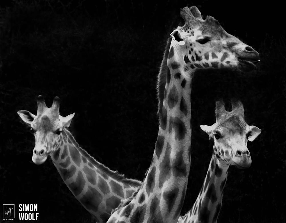 Giraffes bw.jpg