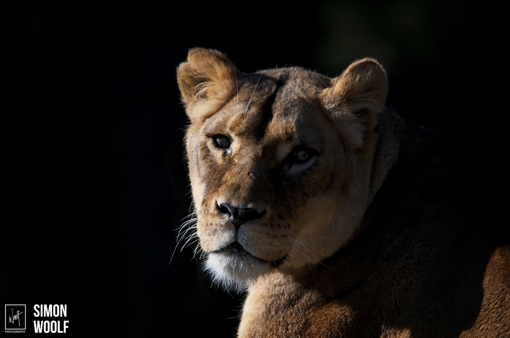 Lioness_6PW3298.jpg