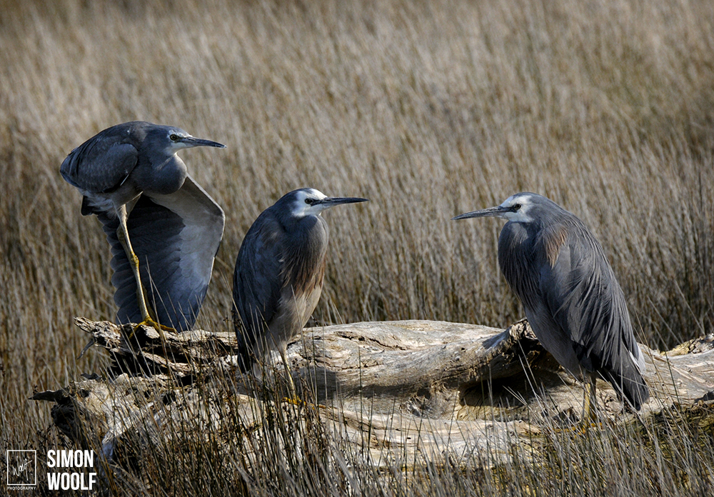 White Faced Heron's_7PW2136.jpg