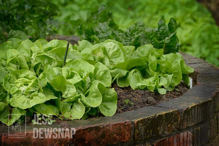 jess-TeOmangahospice-lettucebed.jpg