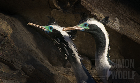 Spotted Shags in Breeding Plumage_PWB3561.jpg