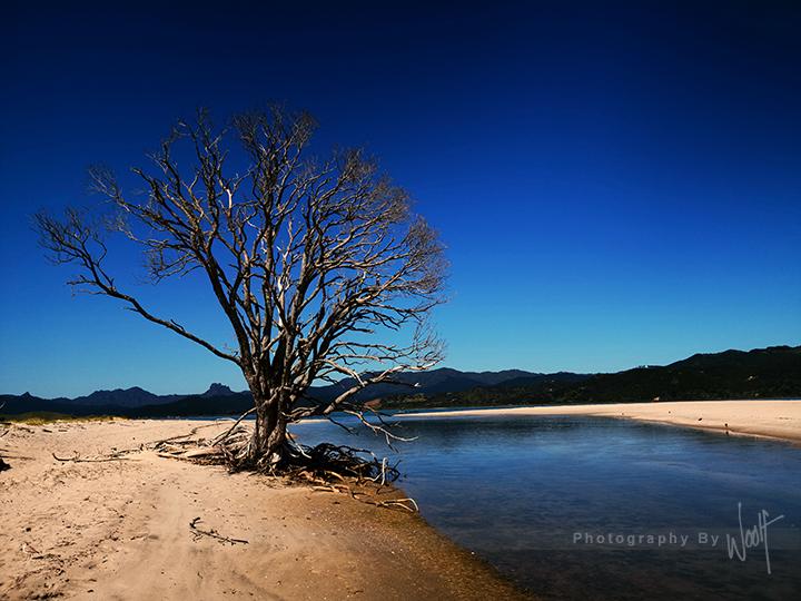 Dead Tree  Matarangi MG_20190112_101653.jpg
