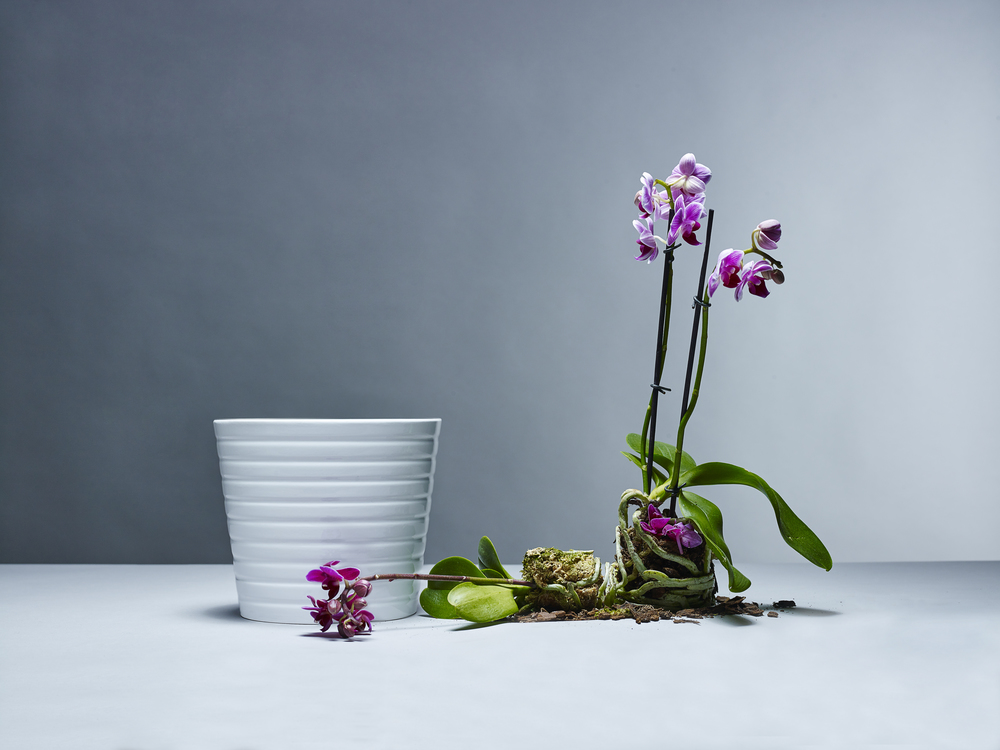 2015_01_13_Stilllife_Orchidee10996.JPG