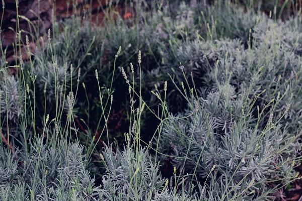 Split Croatia lavender