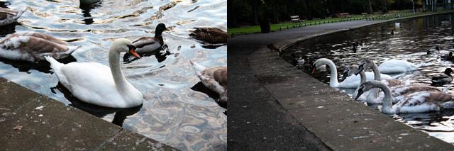St. Stephen's Green Swans Dublin Ireland