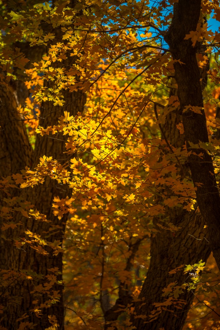 Backlighting on Maple Leaves, McKittrick Canyon
