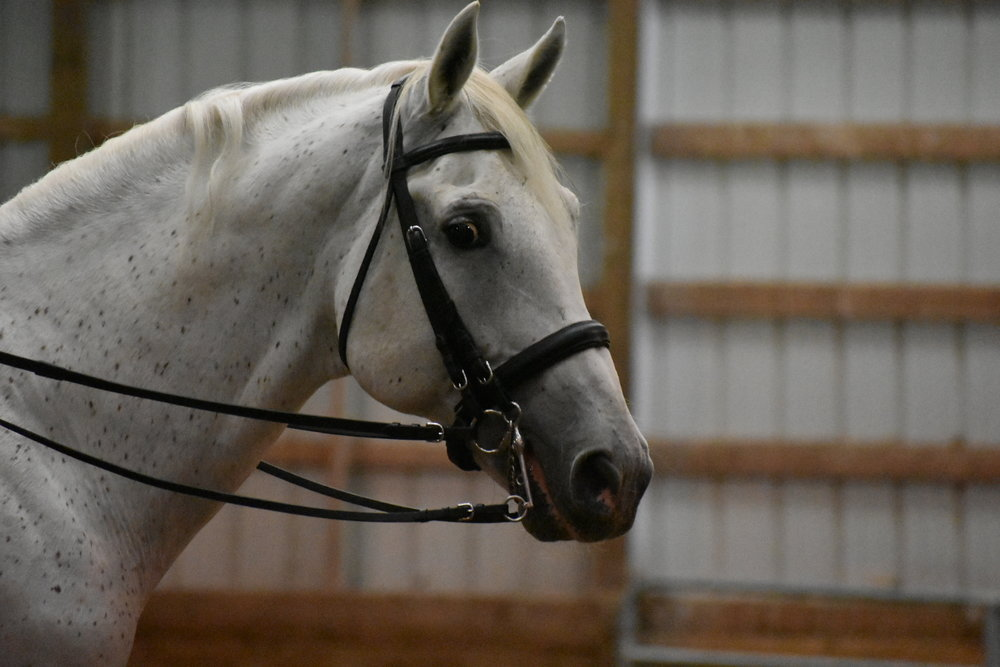 Pluto Pompea-55 - Pompi is a seasoned senior Lipizzan stallion. He is a super mount for longe lessons designed for the rider, as well as a horse who can teach a rider the ropes of lateral work. He can also give a taste of the upper level work for those who are ready.