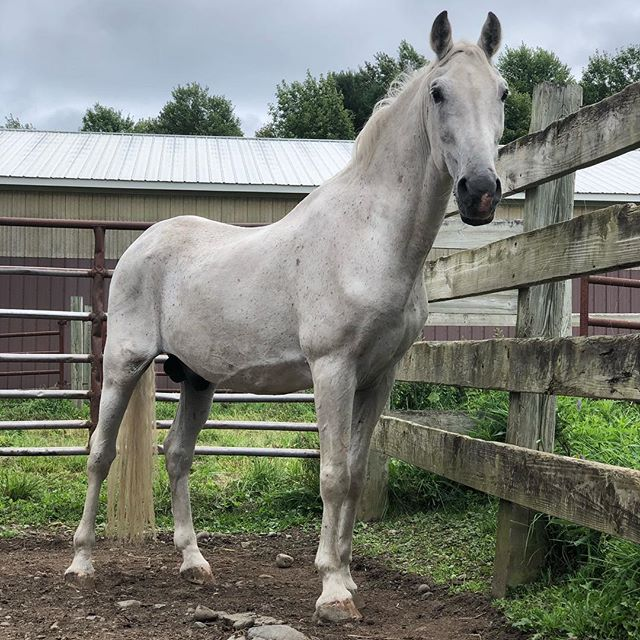 "499 Conversano Barbarina, aka ""Bobby"" - our 1988 Piber bred stallion who trained at the SRS 😍 at 30 years old he is technically retired, but enjoys coming out weekly to work! We stand his bay son, Conversano Belamilana, who got many of his father'a traits. #ConversanoBarbarina #lipizzan #lipizzaner #lipizzanerstallions #lipizzanexperience"