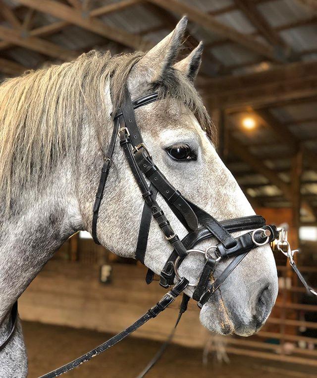 Young stallion, Maestoso Alga. #lipizzan #lipizzaner #lipizzanerhorse #lipizzansofinstagram #lipizzanersofinstagram  #lipizzanerstallions #lipizzanexperience