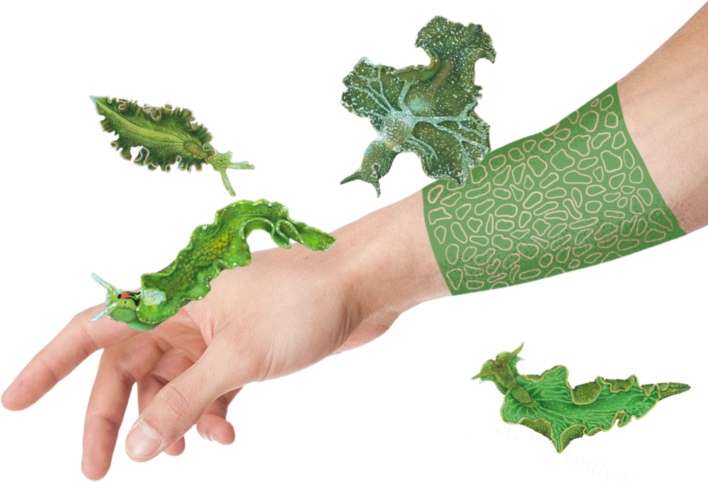 - What if we could use this mechanism for making bio-printable chloroplastic tattoos or  plant-based tissue garment. Those enhancments could give us an extra shot of energy.Idea inspired by endosymbiotic relationships between plants and animals such us Elysia chlorotica or radiolarias.