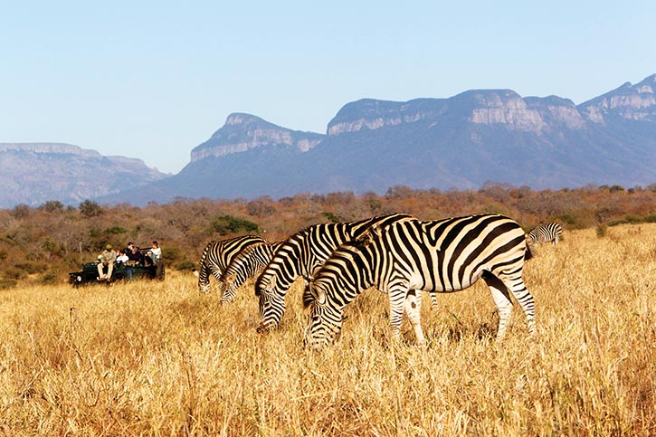 Zebras are migrating animals, always looking for fresh grass and water.