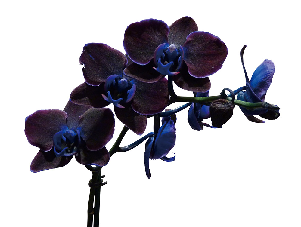 Black Japanese orchid