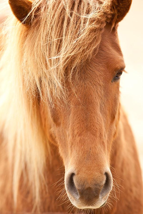 Wild Pony, Iceland.