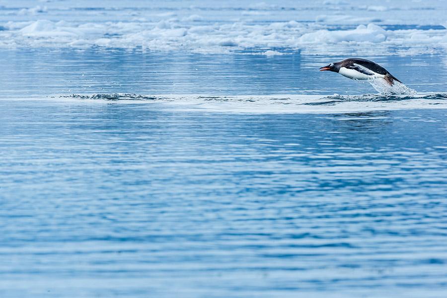 Gentoo Penguin jumping, Antarctica.