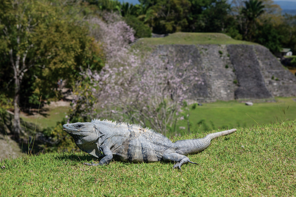 Iguanas can be spotted climbing trees or sunning themselves. (Ethan Daniels / Shutterstock.com)