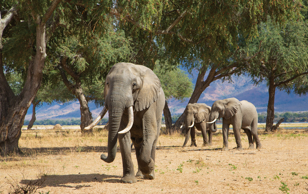 Three African Elephant bulls in the Zambezi Valley feeding on Ana tree pods. Rich Carey / Shutterstock.com