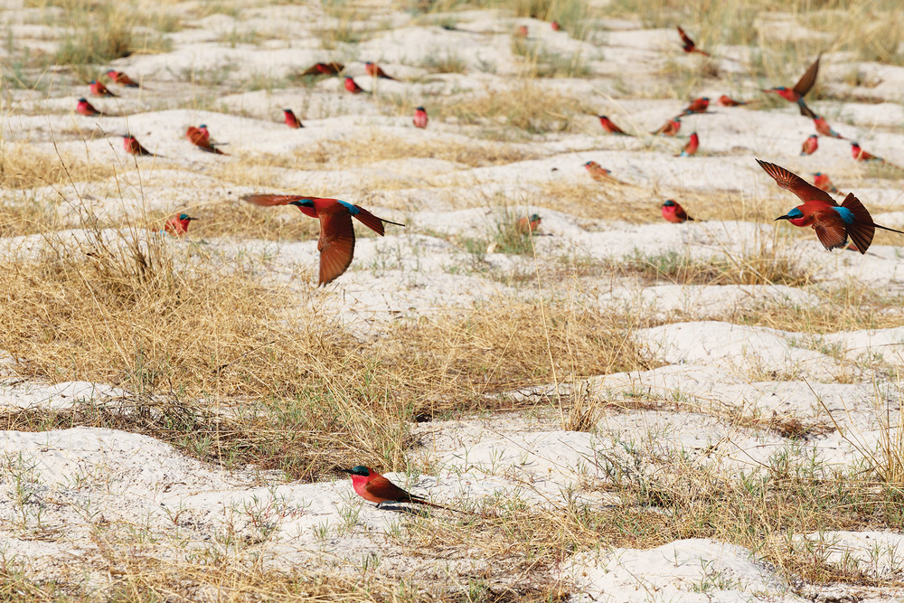 A large nesting colony of northern carmine bee-eaters on the banks of the Zambezi River in Caprivi Namibia, Africa. Artush / Shutterstock.com