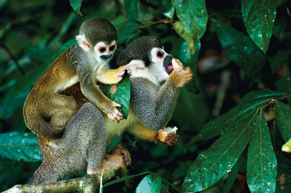 Squirrel monkeys are abundant in the Amazon's canopy layer.  Ksenia Ragozina / Shutterstock.com