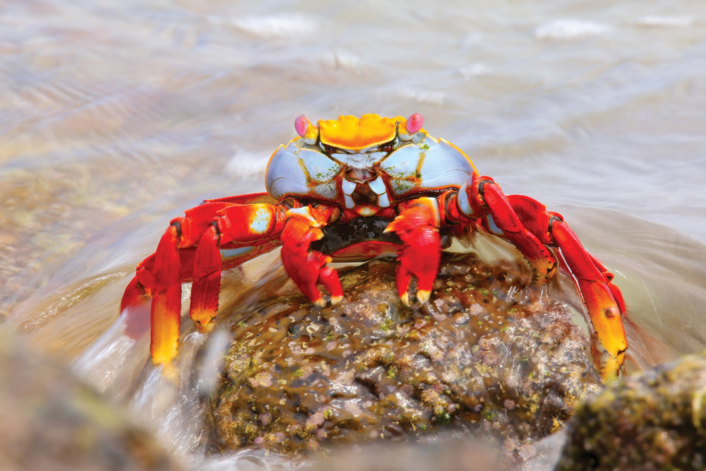 According to fisherman's lore, Sally Lightfoot was an agile and graceful Caribbean dancer. Her namesake crabs can also move quickly atop their five sets of legs and are found abundantly in the Galapagos. Don Mammoser / Shutterstock.com