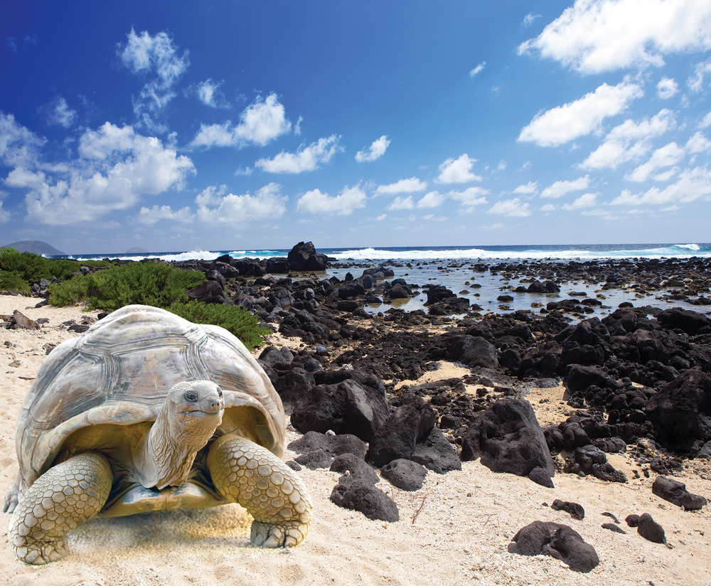 The Galapagos tortoise is the largest living tortoise on earth. Some can grow to weigh over 900 lbs and live past 100 years. KKulikov / Shutterstock.com