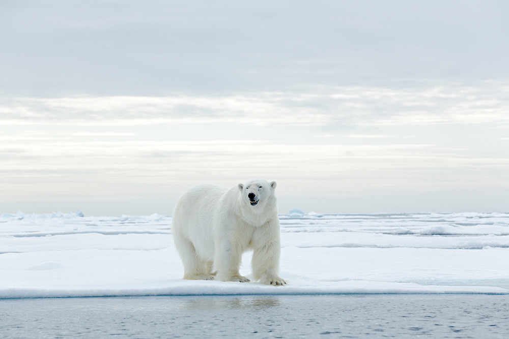 Even though polar bears appear white, their fur is clear and hollow and their skin underneath is black. Their diets consist mostly of seals, which they hunt on the ice and in the open sea. Ondrej Prosicky / Shutterstock.com