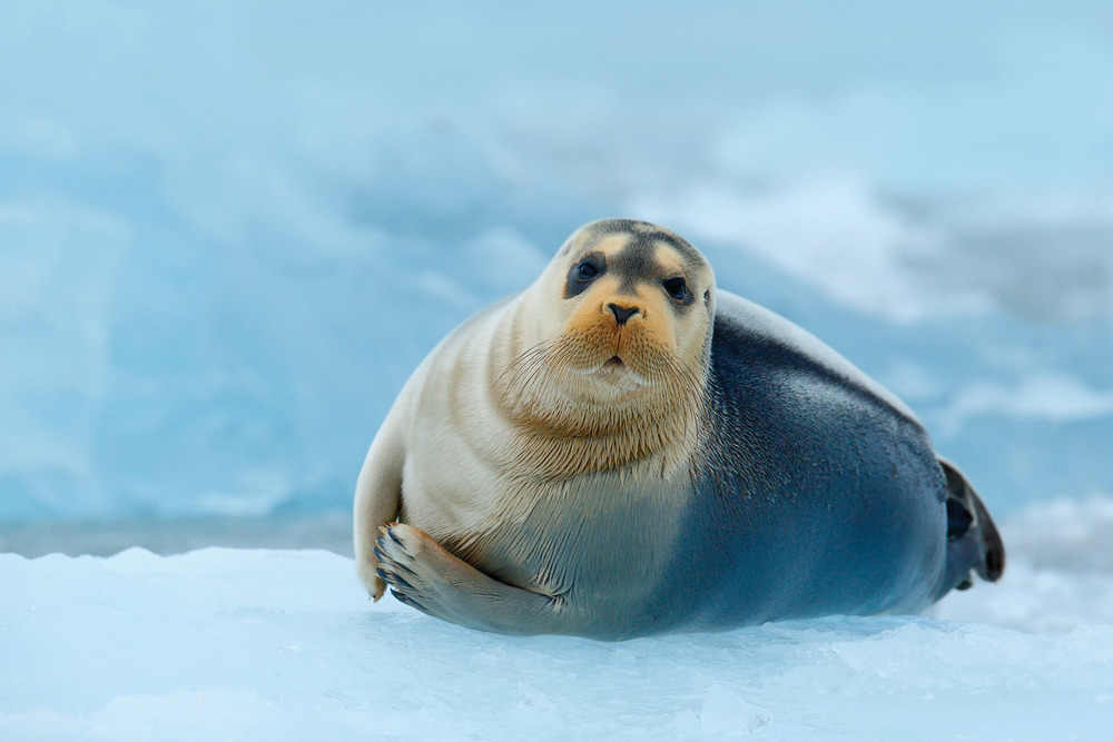 Bearded seals of the Arctic are easily identified by their white whiskers and are typically found on the ice's edge in case they have to make a hasty escape into the water. Ondrej Prosicky / Shutterstock.com