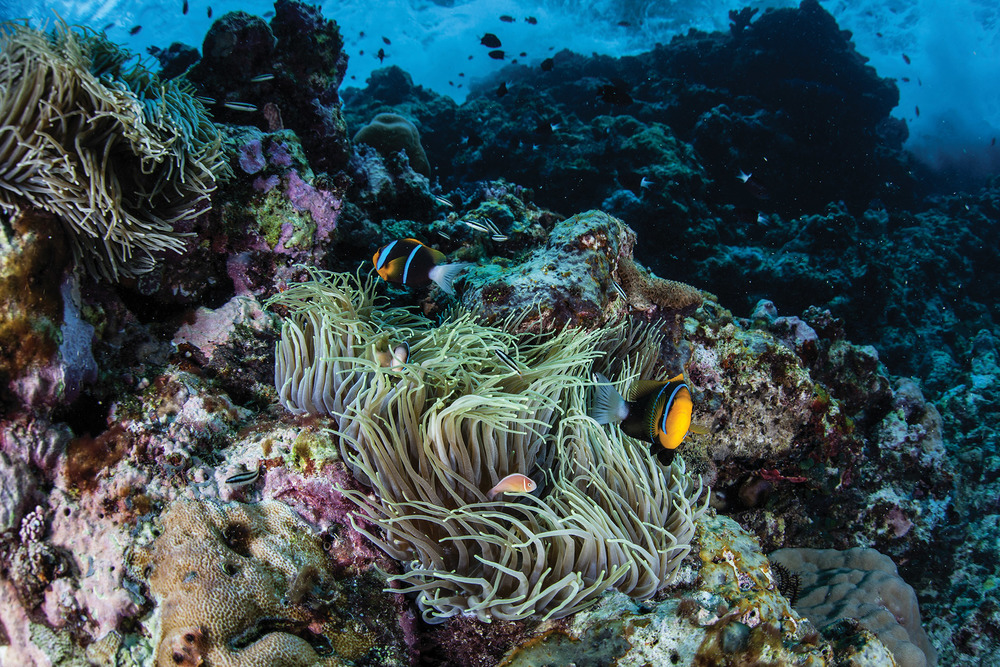 The anemones here protect their clown fish from predators with their venomous tentacles, while the clown fish clean the anemone of parasites and attract potential prey with their bright colours.