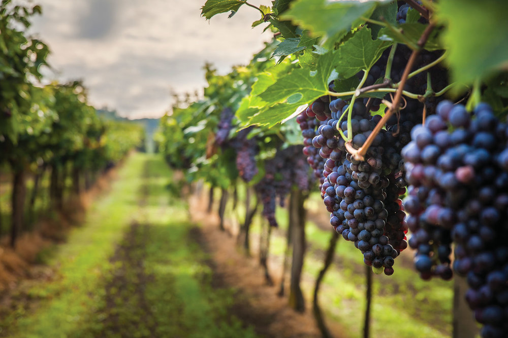 The sangiovese grape is the star of the deep, red wines in the Tuscany region. Lukasz Szwaj / Shutterstock.com