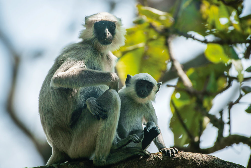 Baby langur monkeys spend their first 13–20 months close by their mother's side. Photo Courtesy of Taj Safaris
