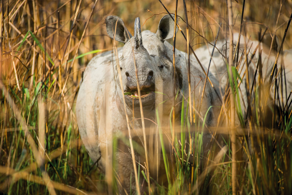 An Indian rhinoceros can be easily identified by its single hor. Photo Courtesy of Taj Safaris