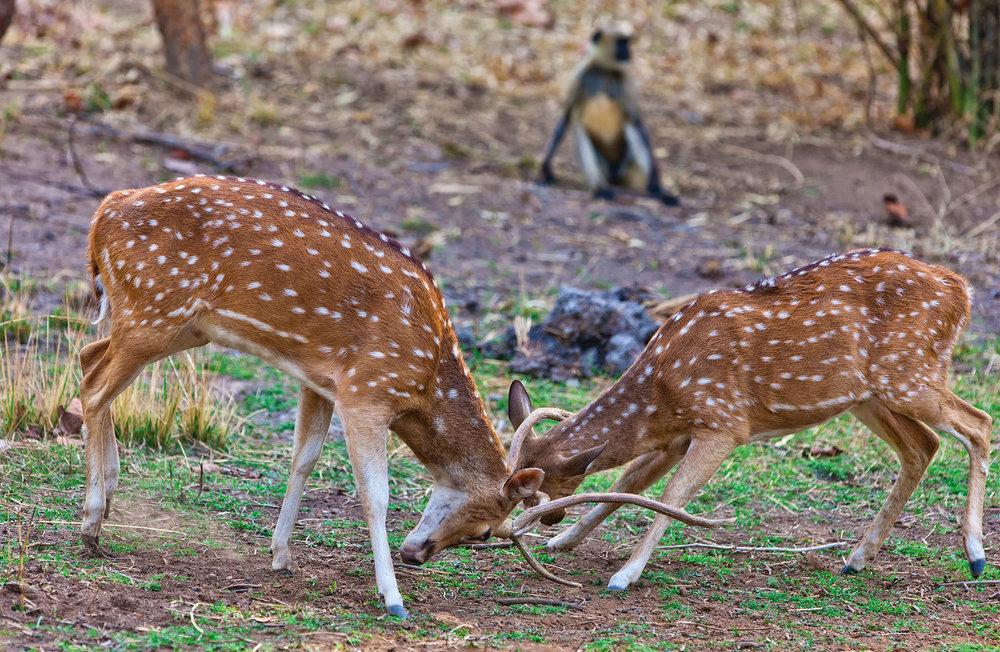 two chital deer lock antlers near a langur monkey. They often graze on fruit dropped by the monkeys.Travel Stock / Shutterstock.com