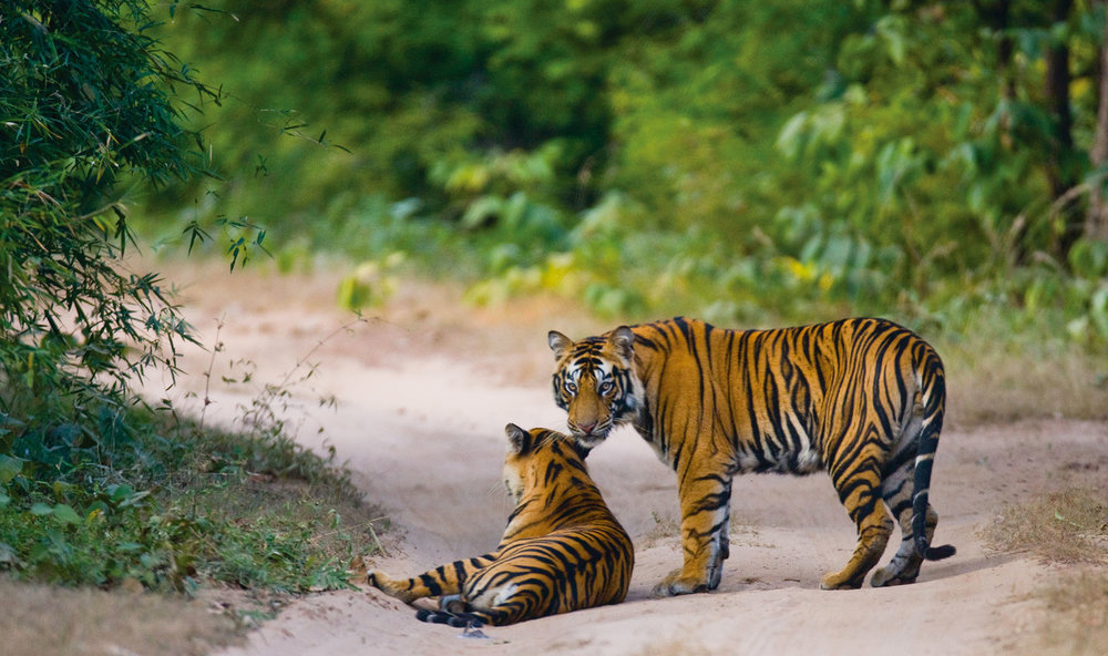 Two tigers enjoy the soft sand roads of Bandhavgarh National Park. GUDKOV ANDREY / Shutterstock.com