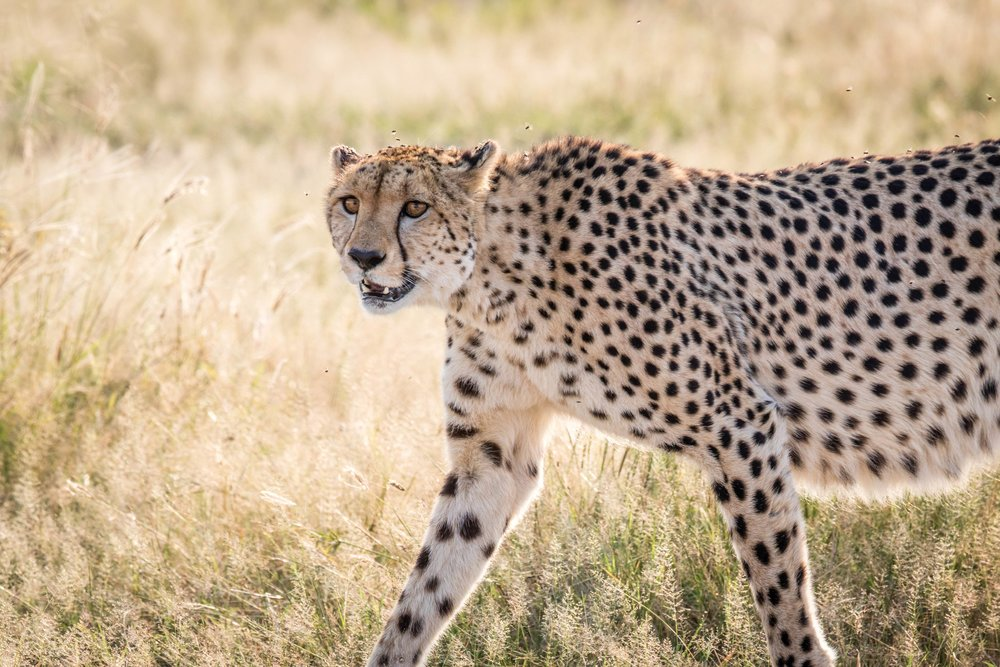 If you're lucky, you may spot a cheetah on a game drive through Chobe National Park. Simon Eeman / Shutterstock.