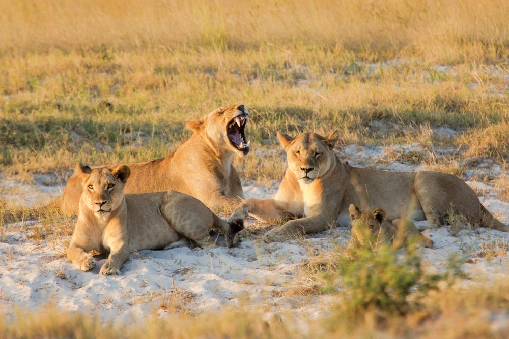 Hunters at night, lions rest during the day; chances are excellent you'll see a pride in Chobe. 2630ben / Shutterstock.com