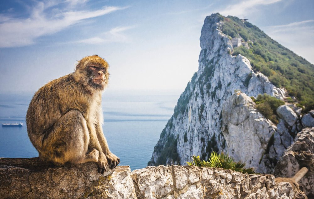 There are about 250 Barbary macaques living at the Rock;Anilah / Shutterstock.com