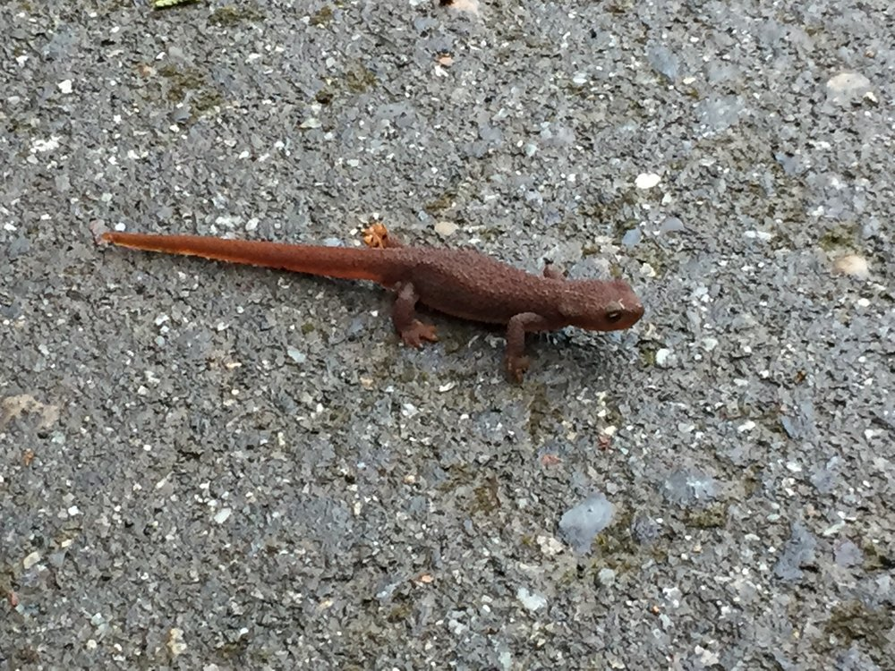 A rough skinned newt, just doin' his thang!