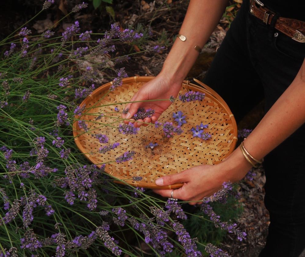 harvesting lavender blossoms