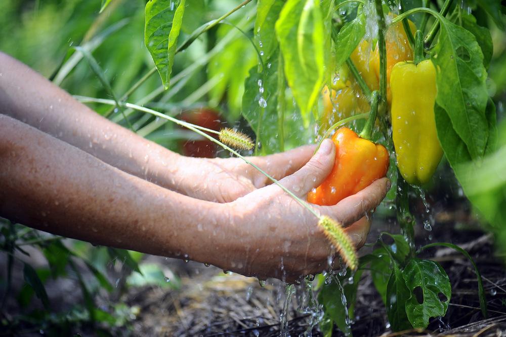 Organic chefs garden