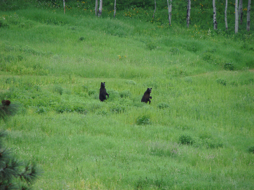 Bears In Meadow 1.jpg