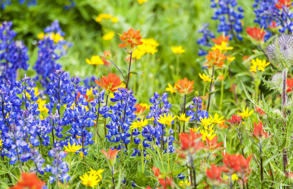 Lupine, indian paintbrush and so many more wildflowers are on their way!