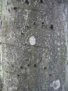 You can often find bear claw marks in the smooth bark of beech nut trees