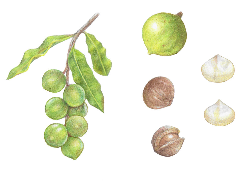 Botanical elements for Macadamia Nuts