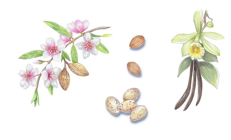 Botanical elements for Almond & Vanilla