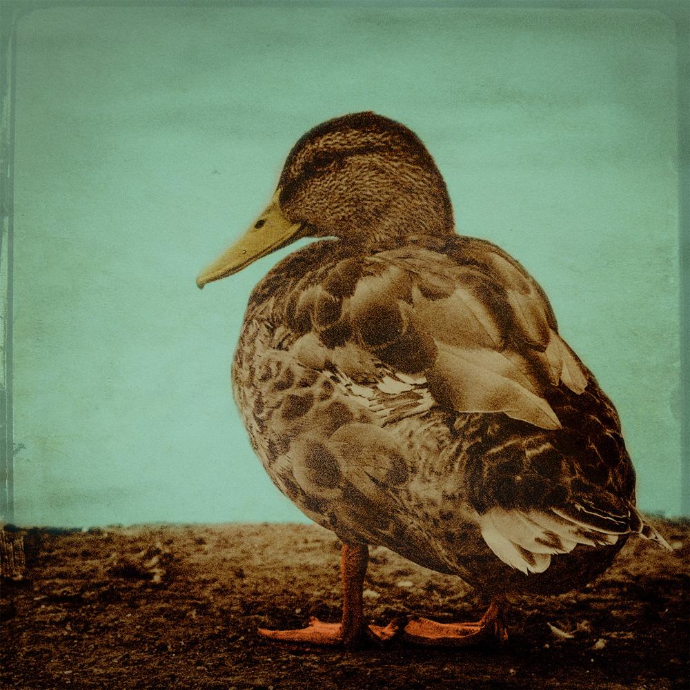 little-duck-copy2.jpg